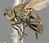 http://mczbase.mcz.harvard.edu/specimen_images/entomology/large/MCZ-ENT00011135_Notiphila_avia_hal.jpg