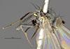 http://mczbase.mcz.harvard.edu/specimen_images/entomology/large/MCZ-ENT00011156_Hydrellia_valida_hal.jpg