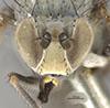 http://mczbase.mcz.harvard.edu/specimen_images/entomology/large/MCZ-ENT00011156_Hydrellia_valida_hef.jpg