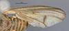 http://mczbase.mcz.harvard.edu/specimen_images/entomology/large/MCZ-ENT00013205_Sciomyza_longipes_fwg.jpg