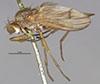 http://mczbase.mcz.harvard.edu/specimen_images/entomology/large/MCZ-ENT00013205_Sciomyza_longipes_hal.jpg