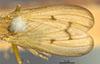 http://mczbase.mcz.harvard.edu/specimen_images/entomology/large/MCZ-ENT00013220_Tetanocera_plebeja_fwg.jpg