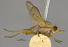 http://mczbase.mcz.harvard.edu/specimen_images/entomology/large/MCZ-ENT00013221_Tetanocera_plumosa_hal.jpg