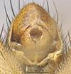 http://mczbase.mcz.harvard.edu/specimen_images/entomology/large/MCZ-ENT00013225_Tetanocera_triangularis_bopa.jpg