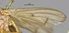 http://mczbase.mcz.harvard.edu/specimen_images/entomology/large/MCZ-ENT00013225_Tetanocera_triangularis_fwg.jpg