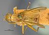 http://mczbase.mcz.harvard.edu/specimen_images/entomology/large/MCZ-ENT00013225_Tetanocera_triangularis_had.jpg