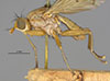 http://mczbase.mcz.harvard.edu/specimen_images/entomology/large/MCZ-ENT00013225_Tetanocera_triangularis_hal.jpg