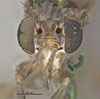 http://mczbase.mcz.harvard.edu/specimen_images/entomology/large/MCZ-ENT00013227_Sepedon_armipes_hef.jpg