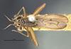 http://mczbase.mcz.harvard.edu/specimen_images/entomology/large/MCZ-ENT00013229_Sepedon_pusillus_had.jpg