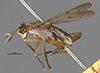 http://mczbase.mcz.harvard.edu/specimen_images/entomology/large/MCZ-ENT00013229_Sepedon_pusillus_hal.jpg
