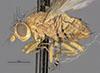 http://mczbase.mcz.harvard.edu/specimen_images/entomology/large/MCZ-ENT00013231_Sapromyza_melanderi_hal.jpg
