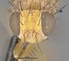 http://mczbase.mcz.harvard.edu/specimen_images/entomology/large/MCZ-ENT00013231_Sapromyza_melanderi_hef.jpg