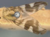 http://mczbase.mcz.harvard.edu/specimen_images/entomology/large/MCZ-ENT00013293_Trypetes_suavis_had.jpg