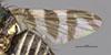 http://mczbase.mcz.harvard.edu/specimen_images/entomology/large/MCZ-ENT00013299_Trypeta_cingulata_fwg.jpg