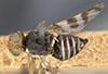 http://mczbase.mcz.harvard.edu/specimen_images/entomology/large/MCZ-ENT00013299_Trypeta_cingulata_had.jpg