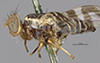 http://mczbase.mcz.harvard.edu/specimen_images/entomology/large/MCZ-ENT00013299_Trypeta_cingulata_hal.jpg