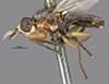 http://mczbase.mcz.harvard.edu/specimen_images/entomology/large/MCZ-ENT00013350_Chlorops_alternata_hal.jpg
