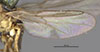 http://mczbase.mcz.harvard.edu/specimen_images/entomology/large/MCZ-ENT00013351_Chlorops_confluens_fwg.jpg