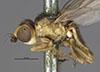 http://mczbase.mcz.harvard.edu/specimen_images/entomology/large/MCZ-ENT00013351_Chlorops_confluens_hal.jpg