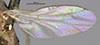 http://mczbase.mcz.harvard.edu/specimen_images/entomology/large/MCZ-ENT00013355_Chlorops_versicolor_fwg.jpg