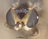 http://mczbase.mcz.harvard.edu/specimen_images/entomology/large/MCZ-ENT00013355_Chlorops_versicolor_hef.jpg