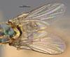 http://mczbase.mcz.harvard.edu/specimen_images/entomology/large/MCZ-ENT00013357_Chlorops_crocota_fwg.jpg