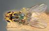 http://mczbase.mcz.harvard.edu/specimen_images/entomology/large/MCZ-ENT00013357_Chlorops_crocota_had.jpg