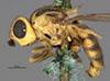 http://mczbase.mcz.harvard.edu/specimen_images/entomology/large/MCZ-ENT00013357_Chlorops_crocota_hal.jpg