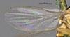 http://mczbase.mcz.harvard.edu/specimen_images/entomology/large/MCZ-ENT00013358_Chlorops_grata_fwg.jpg