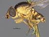 http://mczbase.mcz.harvard.edu/specimen_images/entomology/large/MCZ-ENT00013358_Chlorops_grata_hal.jpg