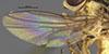 http://mczbase.mcz.harvard.edu/specimen_images/entomology/large/MCZ-ENT00013359_Chlorops_melanocera_fwg.jpg