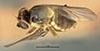 http://mczbase.mcz.harvard.edu/specimen_images/entomology/large/MCZ-ENT00013359_Chlorops_melanocera_had.jpg