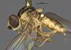 http://mczbase.mcz.harvard.edu/specimen_images/entomology/large/MCZ-ENT00013359_Chlorops_melanocera_hal.jpg