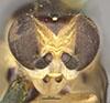 http://mczbase.mcz.harvard.edu/specimen_images/entomology/large/MCZ-ENT00013359_Chlorops_melanocera_hef.jpg