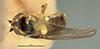 http://mczbase.mcz.harvard.edu/specimen_images/entomology/large/MCZ-ENT00013361_Chlorops_obscuricornis_had.jpg