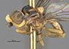 http://mczbase.mcz.harvard.edu/specimen_images/entomology/large/MCZ-ENT00013361_Chlorops_obscuricornis_hal.jpg
