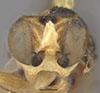 http://mczbase.mcz.harvard.edu/specimen_images/entomology/large/MCZ-ENT00013361_Chlorops_obscuricornis_hef.jpg
