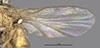 http://mczbase.mcz.harvard.edu/specimen_images/entomology/large/MCZ-ENT00013362_Chlorops_producta_fwg.jpg