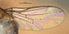 http://mczbase.mcz.harvard.edu/specimen_images/entomology/large/MCZ-ENT00013363_Chlorops_pubescens_fwg.jpg