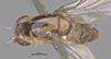 http://mczbase.mcz.harvard.edu/specimen_images/entomology/large/MCZ-ENT00013363_Chlorops_pubescens_had.jpg