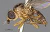 http://mczbase.mcz.harvard.edu/specimen_images/entomology/large/MCZ-ENT00013363_Chlorops_pubescens_hal.jpg