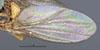 http://mczbase.mcz.harvard.edu/specimen_images/entomology/large/MCZ-ENT00013365_Chlorops_sahlbergi_fwg.jpg