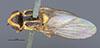 http://mczbase.mcz.harvard.edu/specimen_images/entomology/large/MCZ-ENT00013365_Chlorops_sahlbergi_had.jpg