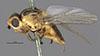 http://mczbase.mcz.harvard.edu/specimen_images/entomology/large/MCZ-ENT00013365_Chlorops_sahlbergi_hal.jpg