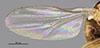 http://mczbase.mcz.harvard.edu/specimen_images/entomology/large/MCZ-ENT00013366_Chlorops_trivialis_fwg.jpg