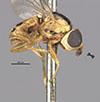 http://mczbase.mcz.harvard.edu/specimen_images/entomology/large/MCZ-ENT00013366_Chlorops_trivialis_hal.jpg
