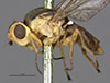 http://mczbase.mcz.harvard.edu/specimen_images/entomology/large/MCZ-ENT00013367_Chlorops_sulphurea_hal.jpg