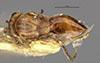 http://mczbase.mcz.harvard.edu/specimen_images/entomology/large/MCZ-ENT00013836_Andricus_incomptus_had.jpg