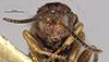 http://mczbase.mcz.harvard.edu/specimen_images/entomology/large/MCZ-ENT00013837_Andricus_marmoreus_hef.jpg