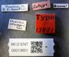 http://mczbase.mcz.harvard.edu/specimen_images/entomology/large/MCZ-ENT00013851_Cynips_quercus_ostensackeni_lbs.jpg